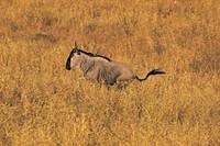 Wildebeest. Tarangire National Park, Tanzania