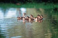 Mallard duck and babies