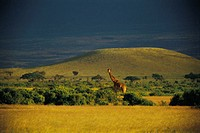 Rothschild giraffe, Amboseli National Park, Kenya, Africa