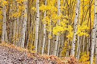 White aspen trunks and fall foliage in Colorado, USA.