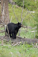 Black Bear (Ursus americanus). Yellowstone National Park. USA