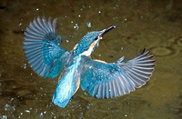 Kingfisher (Alcedo atthis). Germany