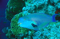 Heavy beak Parrotfish (Chlorurus gibbus), Red Sea