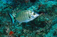 Sheepshead Bream (Diplodus puntazzo). Mediterranean Sea