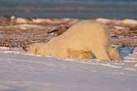 Adult male Polar Bear (Ursus maritimus) rubbing his neck and belly in fresh snow near Churchill, Manitoba, Canada.