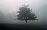 Lone tree with mist, fog and sun