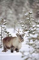 Reindeer (Rangifer tarandus). Stoverfors, Västerbotten, Sweden