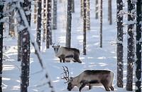 Reindeers (Rangifer tarandus). Ektrask, Västerbotten, Sweden