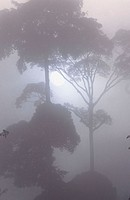 Misty morning in the rainforest. Danum Valley. Borneo. Malaysia