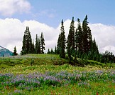 Wildflowers bloom, Mt. Rainier National Park. Washington, USA