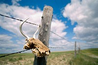 Skull in barbed wire fence. Lewis and Clark Trail. Montana. USA