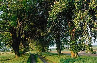 Chestnut (Aesculus hippocastanum). Trees in avenue, morning light. Galenbeck. Germany