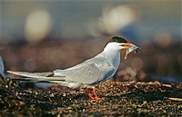 Common tern (Sterna hirundo) with fish. Anklam. Germany