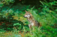 Wolf (Canis lupus). Male in the forest, watching. Bayerischer Wald NP. Germany