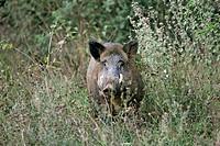 Wild Boar (Sus scrofa), male