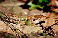 Canary Islands Lizard (Gallotia galloti). Caldera de Taburiente National Park. La Palma, Canary Islands. Spain
