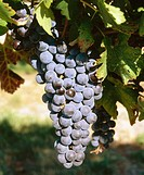 Merlot grapes, Yakima Valley. Yakima County, Washington, USA