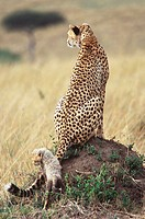 Cheetah Mother with 6 week old cub