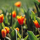 10653849, flowers, tulip, tulips, field, blossoms, flourishes, plants