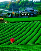 Fuki - Tea Fields, Japan