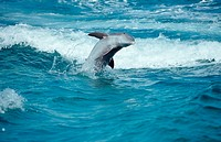 action, Bahamas, bottlenose dolphin, bottlenose dolphins, Caribbean, Caribbean Sea, diving, holiday, holidays, Jumpi