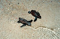 action, Baby Hawksbill Turle runs on the beach to the see, beach, Borneo, diving, egg, endangered species, Eretmoche