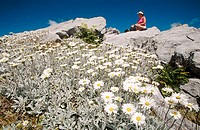 Tramper and alpine daisies on Mt. Owen. Kahurangi NP. New Zealand