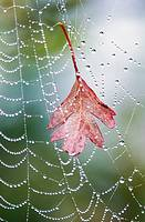 Leaf caught in a spider's web. Saanich, British Columbia. Canada