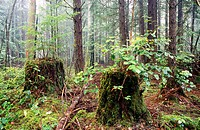 Tree stumps and forest in Gowlland-Tod Provincial Park. Saanich, British Columbia, Canada