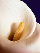 Calla Lily on navy background, Zantedeschia