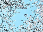 White Cherry blossoms on blue sky
