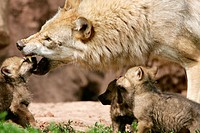 Adult Wolf (Canis lupus) with cubs