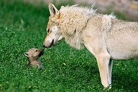 Adult Wolf (Canis lupus) with cub