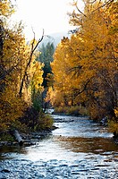 Leaves turning color in the fall. Warm Springs Creek near Sun Valley, Idaho. USA