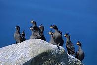Crested Auklets. (Aethia cristatella). Talan Island, Sea of Okhotsk. Russia.