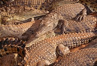 Wildlife, Reptiles, Crocodile,