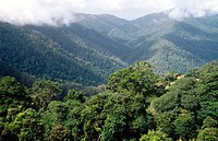 View of cool temperate rainforest canopy from the Skyway, Dorrigo National Park, New South Wales, Australia