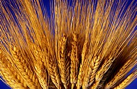Stalk of wheat