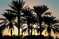 Silhouettes of palm trees at sunset in Dubai, UAE (thumbnail)