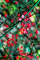 Red berries on a bush (thumbnail)