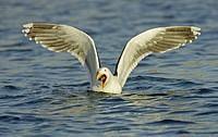 Great Black-backed Gull (Larus marinus) feeding on fish, wings out-stretched. Norway