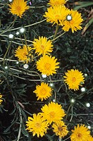 Grindelia chiloensis flowers.