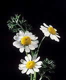 Arrangement of chamomile flowers (Chamaemelum nobile). The flowers are renowned for their medicinal qualities and an infusion of them has a mild sedat...