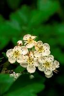 Hawthorn (Crataegus monogyna) blossom.