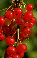 Ribes sativum. Ripe redcurrants close up of berries To flavour lamb for fruit flans jam or wine.