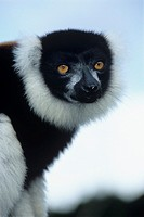 Black ruffed lemur (Varecia variegata variegata) This animal is endemic to the east coast rainforests of Madagascar where it spends most of its time h...