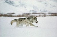 Grey Wolf. View of a solitary grey wolf (Canis lupus) running through snow. A fully grown grey wolf has a body length of up to 140 cm and a body weigh...