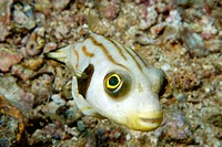 Striped puffer (Arothron manilensis), Gato Island. Northern Cebu, Philippines (Visayan Sea)