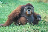 Orang Utan , Pongo pygmaeus , Asia , Adult male on ground