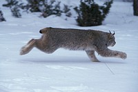 Lynx , Lynx canadensis , Montana , USA , Adult male in snow running